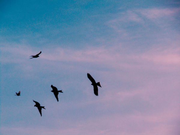 Garden Photography Flying Bird Animal Themes Sky No People Animals In The Wild Silhouette Beauty In Nature Low Angle View Nature Animal Wildlife Outdoors Spread Wings Day Red Kite Red Kite In Flight Red Kites