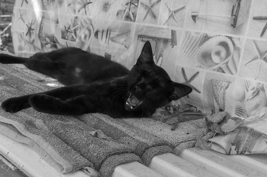 Cat Nap Blackandwhite