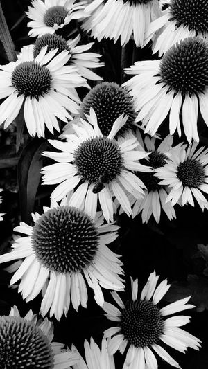 A Black And White Close-up of Beatiful Flowers . Featuring Flower Petal Fragility Beauty In Nature Pollen Flower Head Freshness Growth Nature Coneflower Day Outdoors Background Striking Nature Plant Growth Leaf No People Plant Blooming