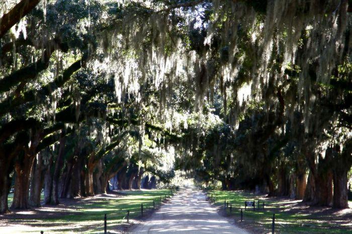 Live Oak TreePorn