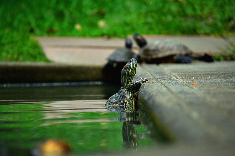 Animal Themes Animal Animal Wildlife Animals In The Wild Selective Focus Water One Animal Lake Nature Invertebrate Insect Vertebrate Day No People Reptile Outdoors Close-up
