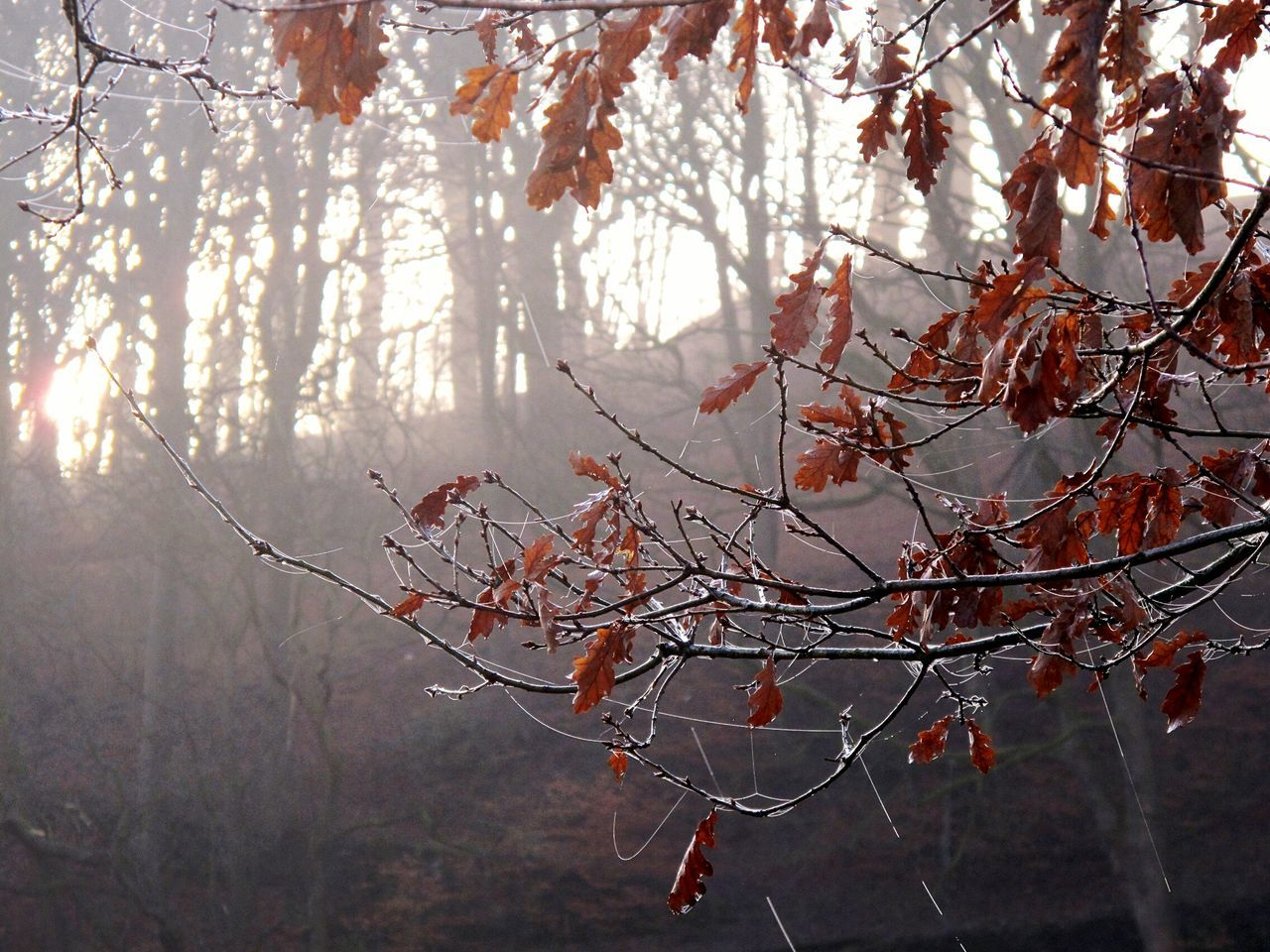tree, branch, nature, beauty in nature, forest, no people, day, outdoors, autumn, winter, tranquility, twig, scenics, tranquil scene, growth, fog, leaf, sunlight, cold temperature, fragility, sky, close-up, freshness