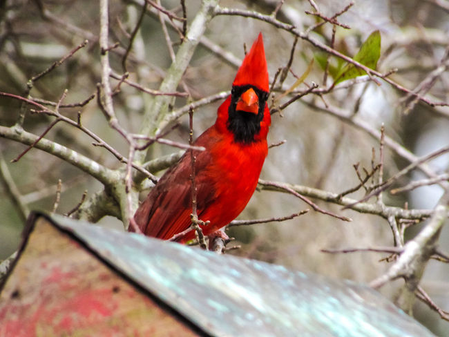 attitude Cardinal Red Bird Birds_collection Bird Photography Attitude Looking At Camera Cone Angrybirds Showing Emotion Wildlife & Nature Red Bird Perching Animal Themes Tree No People Animals In The Wild Animal Wildlife One Animal Beauty In Nature Close-up Nature Outdoors