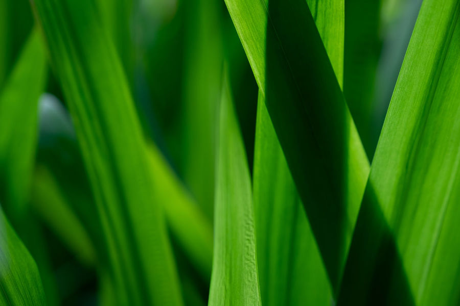 Growth Green Color Leaf Plant Close-up Beauty In Nature No People Day Backgrounds Nature Full Frame Plant Part Focus On Foreground Outdoors Selective Focus Freshness Grass Tranquility Botany Blade Of Grass Abstract Background Green