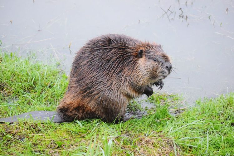 Wet Beaver At Riverbank