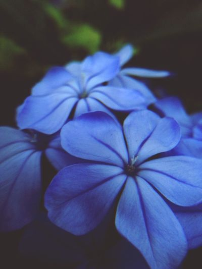 this would take my stress away Duranta Blueviolets Garden Flowers Macro Photography Magnifying Glass EyeEm Nature Lover EyeEm Macro Flower Collection Flower Lovers EyeEm Flower Mobile Photography Purple Love