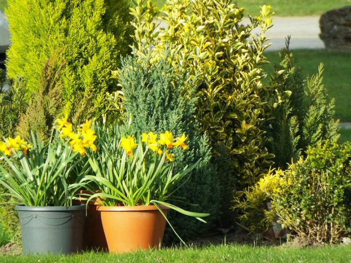 Flower Green Color Plant Outdoors Freshness Landscape Yellow No People Day Daffodils Group Of Objects Greenery