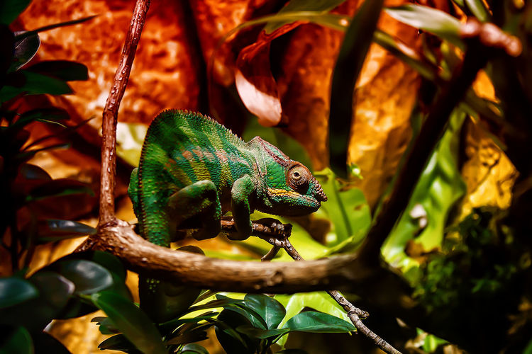 Animal Animal Scale Animal Wildlife Branch Chamaeleon Chameleon Close-up Green Color Leaf Nature No People One Animal Plant Plant Part Reptile Tree