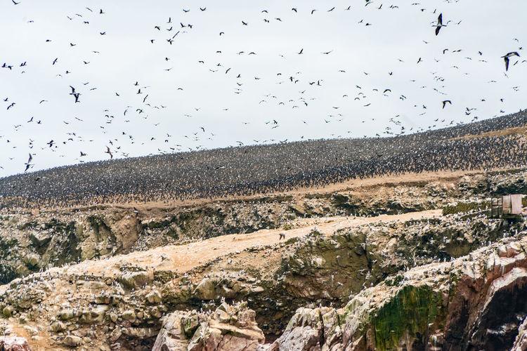 Flock of birds flying over landscape against sky