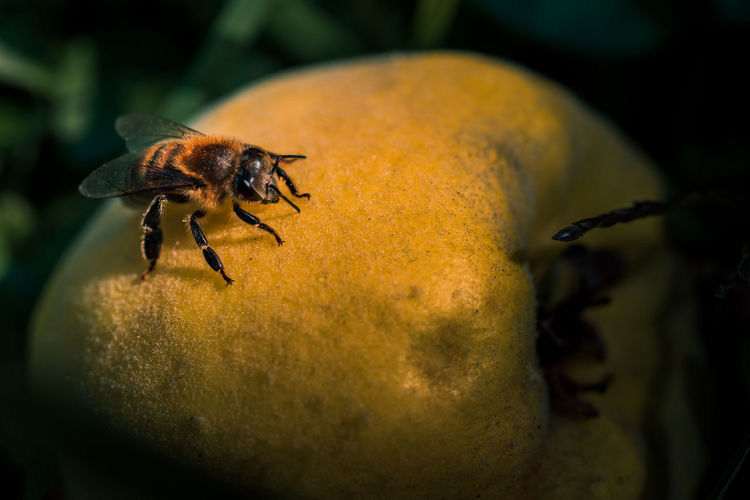 Bee looking for food Quince Fruit Grass Beauty In Nature Bee Bees Animal Themes Invertebrate Animal One Animal Animals In The Wild Animal Wildlife Insect Close-up Plant Nature Pollen Wings Eyes Antenna Summer Apidae Feeding  Nature Yellow