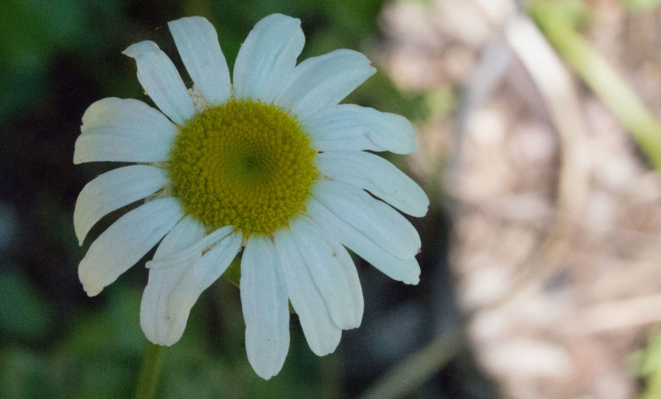 Taken along a nature path in summer time. Beautiful Clean Clear Flower Fresh Summer White Yellow