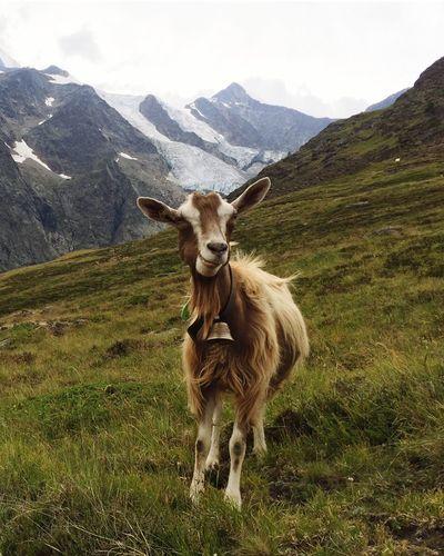 Goat IPhoneography Mountain Animal Themes Animal Mammal One Animal Domestic Animals Vertebrate Mountain Range Beauty In Nature Livestock Scenics - Nature Landscape