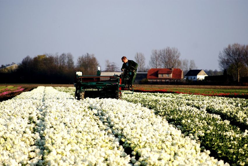 Taking Photos Agriculture Nature Nature On Your Doorstep Nature Photography Working Horticulture Farmer Working Farmer Flowers Hyacinths White White Color White Flowers Farming Machinery Agricultural Land Agricultural Machine Zeeland  Hulst Flower Fields Holland