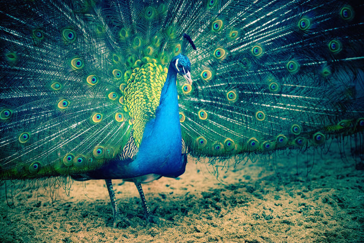 Peacock portrait standing in full splendor Peacock Peacock Feather Peacock Feathers Peacock Colors Peacock Blue Animal Themes Animal Bird One Animal Fanned Out Animal Wildlife Animals In The Wild Vertebrate Feather  No People Blue Beauty In Nature Green Color Nature Male Animal Close-up Beauty Day Nature