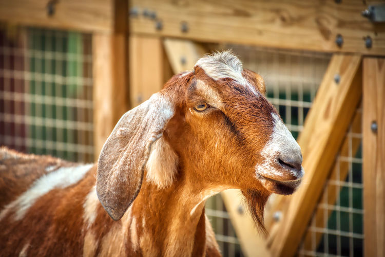 A brown and white goat on a farm. Animal Themes Animal Mammal Domestic Animals One Animal Vertebrate Domestic Pets Livestock Focus On Foreground Brown No People Animal Wildlife Day Animal Body Part Close-up Animal Head  Portrait Outdoors Looking Herbivorous Mouth Open Goat Backgrounds