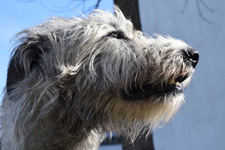 One Animal Animal Themes Close-up Animal Head  Outdoors Animal Head  A Walk In The Park Winter 2017 March 2017 Cearnaigh Irish Wolfhound Dogs Of Winter Dogslife Dogs Of EyeEm Dog Of The Day Bokeh Portrait Dogwalk Skyporn Animal Body Part