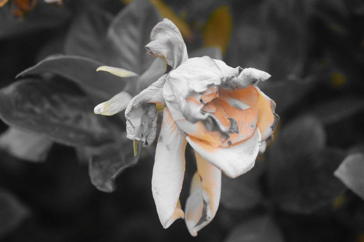 Melancholic Nature Beauty In Nature Close-up Dying Flower Flower Fragility Jasmine Flower Nature No People Outdoors Petal Plant Selective Color