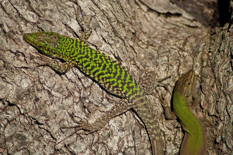 Reptiles Couple Animals Taking Photos Enjoying Life Nature Sicily Wildlife Colorful Colors Belvedere - Siracusa