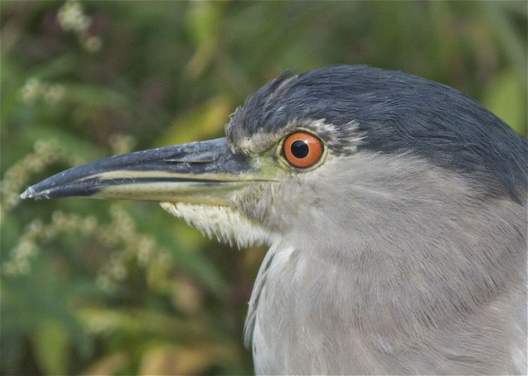 Black-crowned Night-Heron Illinois Nycticorax Nycticorax Obscurus Skokie Lagoons Animal Animal Body Part Animal Eye Animal Head  Animal Themes Animal Wildlife Animals In The Wild Beak Bird Close-up Eye Focus On Foreground Looking Nature No People Nycticorax Nycticorax One Animal Portrait Profile View Side View Vertebrate
