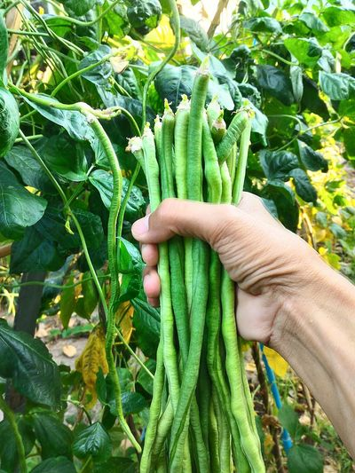 Human Body Part Human Hand Green Color Growth Agriculture Outdoors Day Plant Close-up Lifestyles Freshness Healthy Eating Food Asian Farmer Thailand_allshots Thailand Photos Nature Photography Long Bean / String Bean Fruits Vegetables Beans