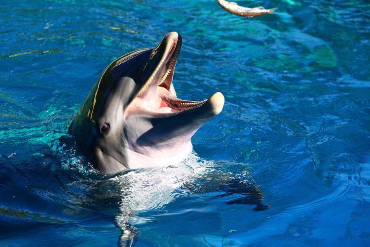 Mouth Open Water Blue Dolphin Animal Themes Aquatic Mammal Animal Wildlife USA America Las Vegas Siegfried And Roy Secret Garden Mirage Hotel