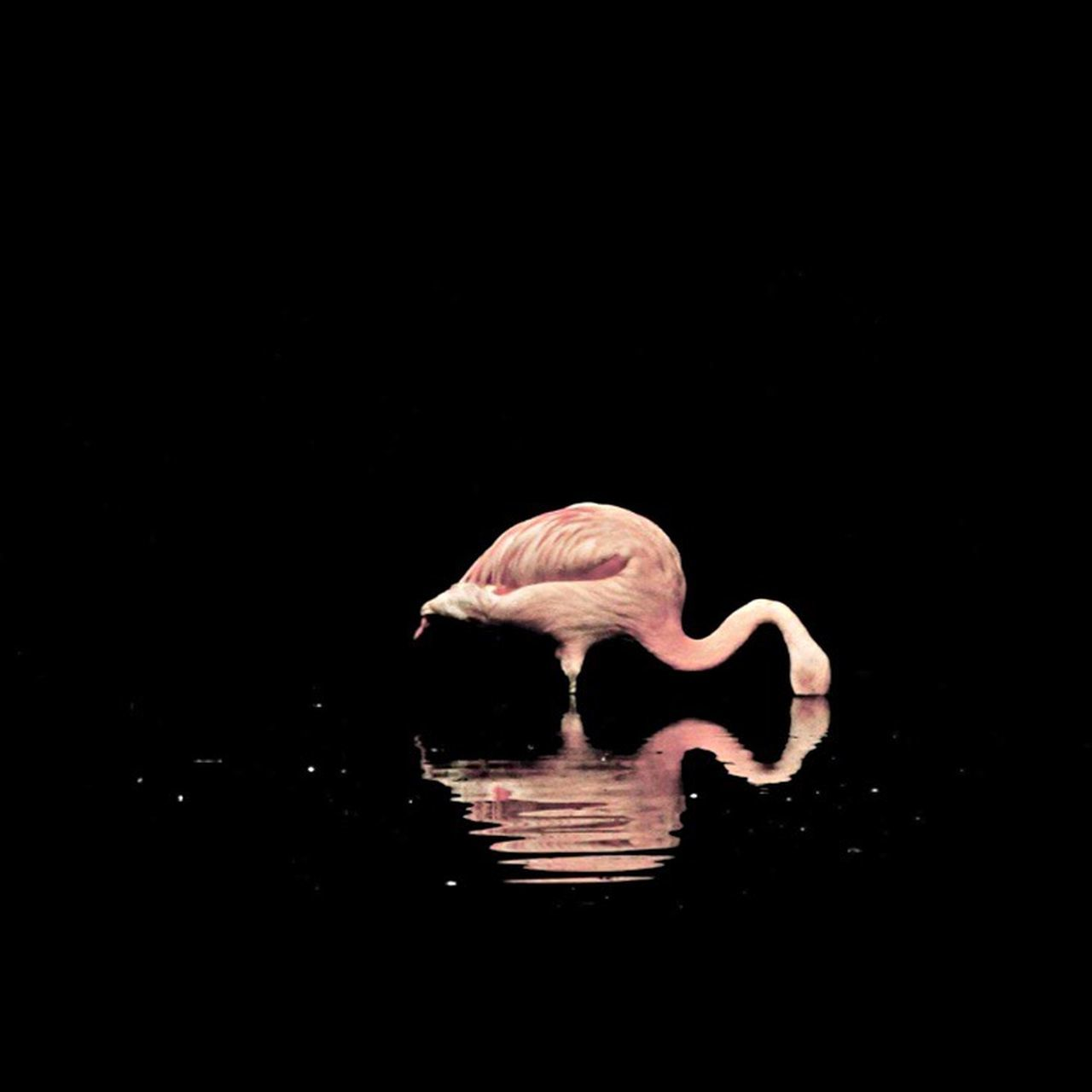 one animal, animal themes, animals in the wild, reflection, flamingo, water, black background, animal wildlife, waterfront, studio shot, no people, bird, swimming, nature, close-up, day, beauty in nature, swan, outdoors