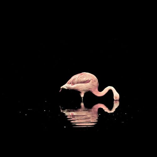 Flamingo in the