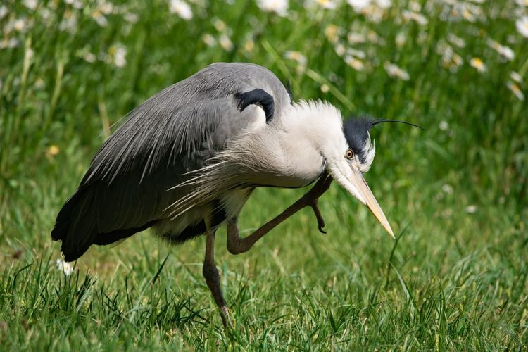 Grass Scratching Heron EyeEm Selects Bird Full Length Foraging Beak Close-up Grass Gray Heron