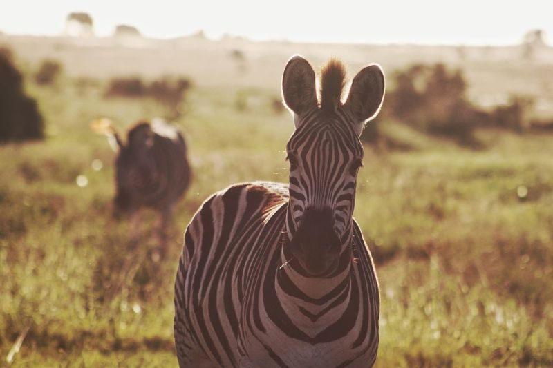 Close-up portrait of zebra standing on field during sunny day