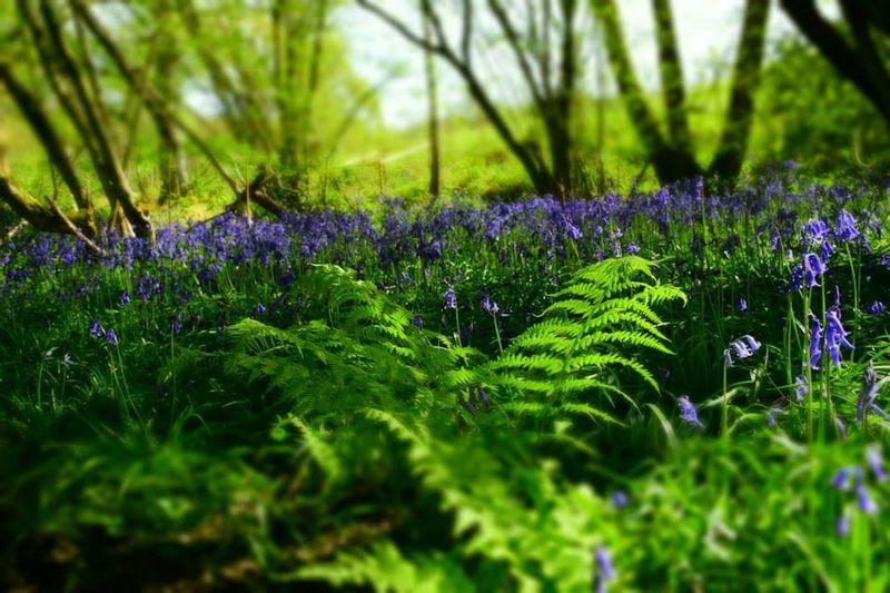 Woodland Walk Bluebells Fern Woods