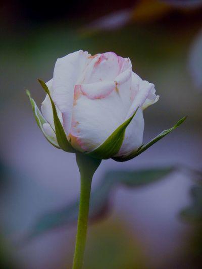 Beautiful one Flower Head Flower Springtime Pink Color Petal Rose - Flower Close-up Pale Pink