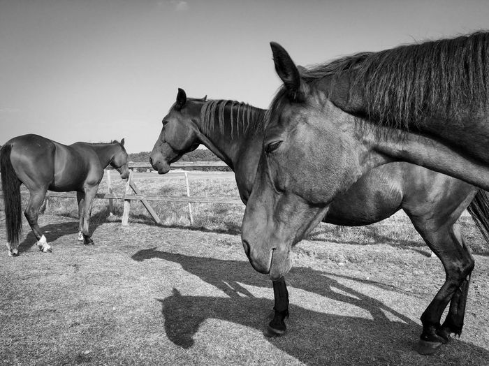 Horse Animal Themes Domestic Animals Livestock Mammal Working Animal Herbivorous Field Vertebrate Bridle Hjelmroth Eyeemphoto Zoology Hoofed Mammal Animal Ranch Day Outdoors Sky Mane Grassy