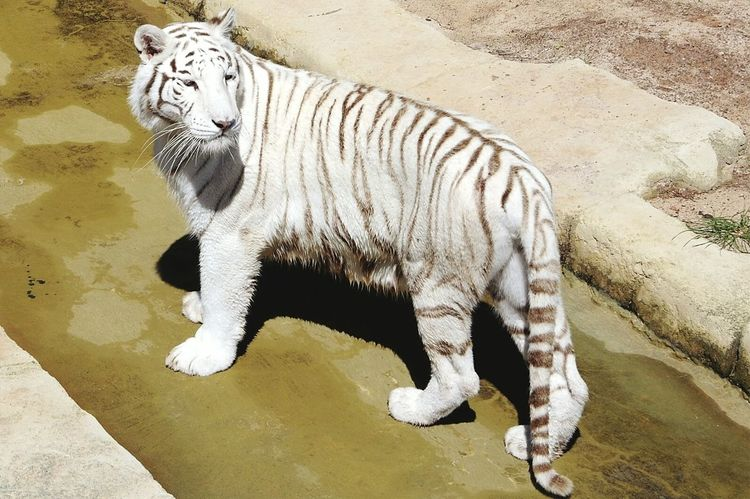 When I was at the animal park I saw this white tiger.. one of my favourite animals! I'm very happy to have taken this photograph of such an amazing animal. Tiger Love White Tiger Animals Animal Photography Wildlife Tigers Photography