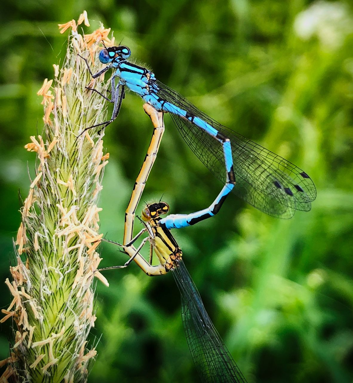 animals in the wild, animal wildlife, insect, invertebrate, animal themes, animal, plant, focus on foreground, day, close-up, one animal, nature, dragonfly, animal wing, damselfly, no people, outdoors