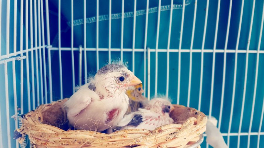 baby bird Bird Perching Pets Trapped Reptile Blue Cage Animals In Captivity Birdcage