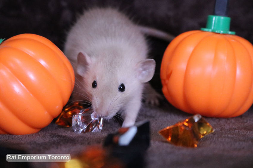 Rats from Rat Emporium Toronto Cute Pet Cute Pets Halloween Pet Photography  Pets Corner Adorable Adorable Pets Animals' Love Baby Animal Baby Animals Cute Cute Rats Dumbo Rat Dumbo Rat Breed Dumborat Halloween R Pet Rat Pet Rats Pets Rats Ratstagram Sable Sable Rat Siamese Siamese Rat