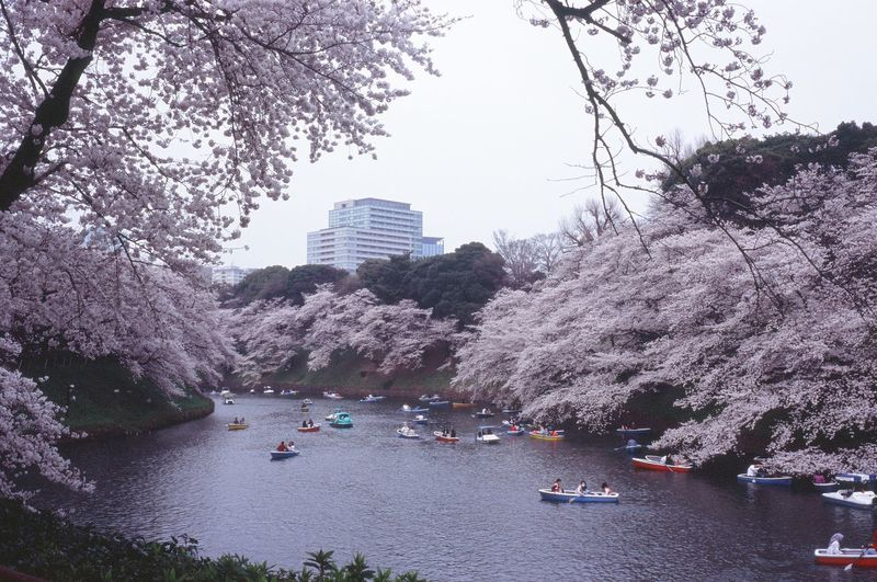 Building Building Exterior Built Structure Cherry Blossom Cherry Tree City Film Photography Filmcamera Growth Nature Nautical Vessel No People Office Building Exterior Outdoors Plant Rollei35 Sky Skyscraper Transportation Travel Velvia100 Water Waterfront 千鳥ヶ淵 桜