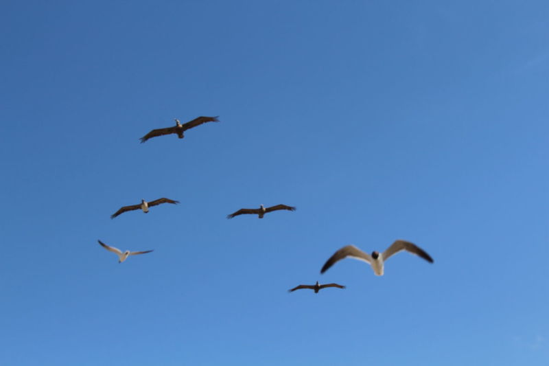 Action Action Photography Action Shot  Animal Avian Beauty In Nature Bird Blue Day Flying Freedom Gulls Gulls In Flight Low Angle View Nature Outdoors Pelican Pelicans In Flight Scenics Sky Spread Wings Tranquility Wildlife