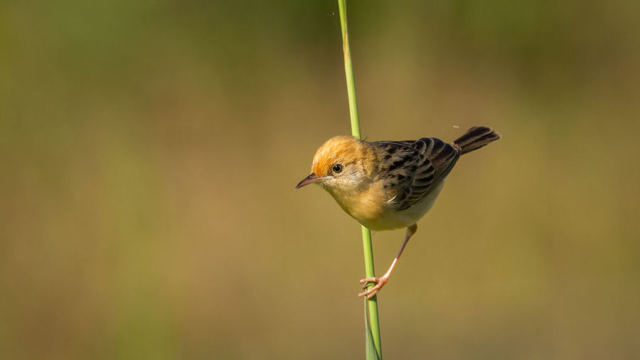 Close-up of golden-headed cisticola on plant