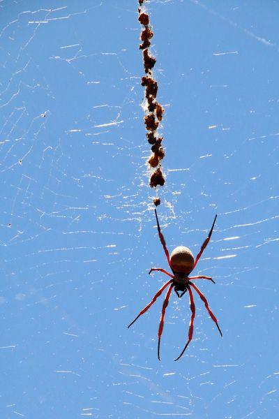Travel Photography Spider Spiderweb Spiderworld Spidersweb Outdoors Australia Nature Photography Outdoor Photography Travelphotography Animal Themes Animal Animals In The Wild Animalphotography Wildlife & Nature Nature Animals