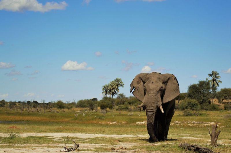 Elephant on field against blue sky