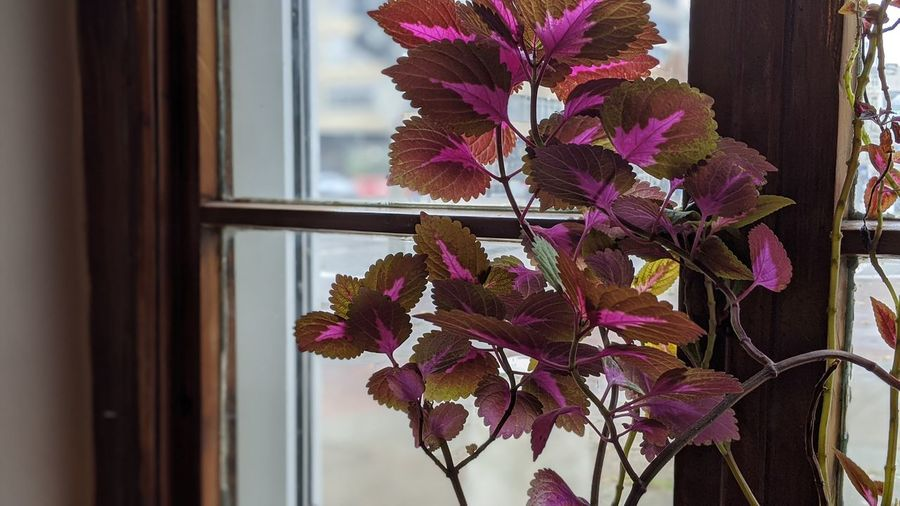Close-up of pink flowering plant by window