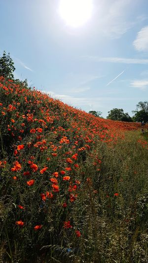 Red Day Sunlight Freshness Mohnblumen Mohnblumenwiese Plant No People Mohnwiese Summer Beauty In Nature Save The World My View