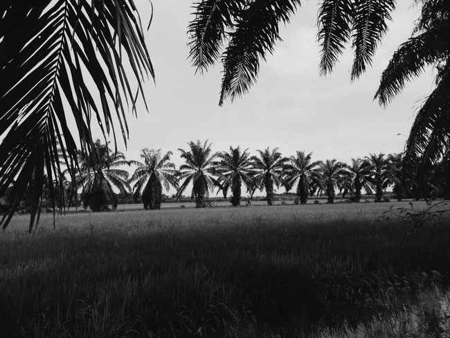 the beauty Nature Trees Palm Trees Paddy Field Beauty In Nature Calmness Relaxing Palm Leaf Black & White EyeEm Nature Lover Tree Growth Nature Outdoors Agriculture Palm Tree No People Landscape Rural Scene Sky Scenics Tree Trunk Day Beauty In Nature