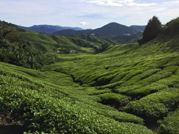 Cameron Highlands Tee Nature Malaysia Mountains Travel