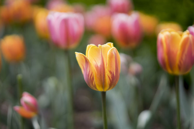 Beauty In Nature Blooming Close-up Field Flower Flower Head Focus On Foreground Fragility Freshness Growth In Bloom Nature Orange Color Petal Plant Red Selective Focus Stem Tulip Yellow