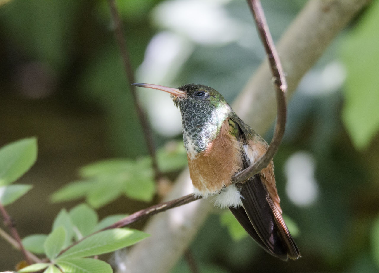 one animal, hummingbird, animals in the wild, animal themes, bird, animal wildlife, focus on foreground, nature, day, outdoors, no people, perching, bird feeder, beauty in nature, spread wings, close-up