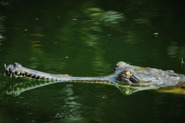 Alligator swimming in lake