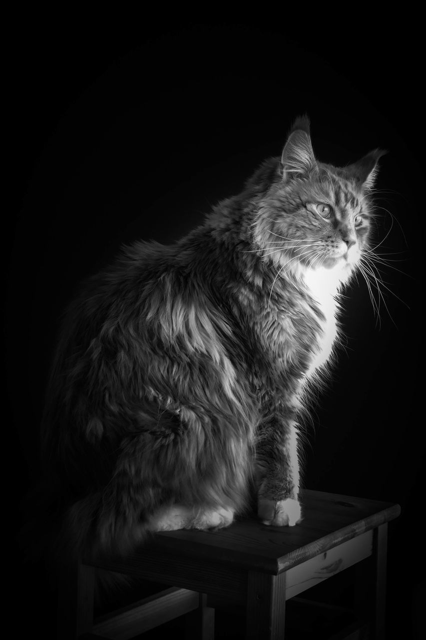 domestic cat, pets, feline, one animal, animal themes, domestic animals, mammal, sitting, no people, black background, indoors, day