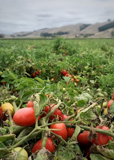 Roma tomatoes in a tomato field. Crop  Farming Agriculture Crop Production Commercial Agriculture Tomato Fruit Tomato Field Roma Tomato Vertical Growth Food Green Color Plant Nature Fruit Focus On Foreground Red Field Freshness Landscape Outdoors Close-up